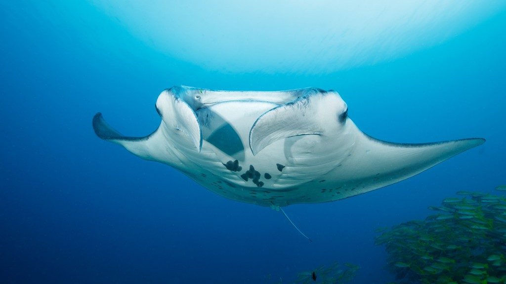 Ocean_Dimensions_Diving_Maldives_Manta-1024x576