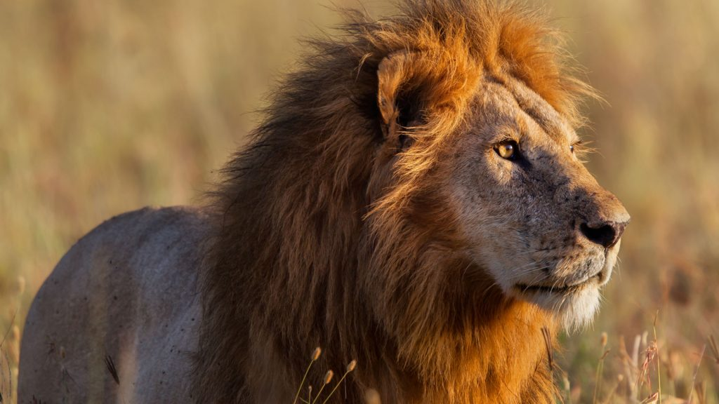 nws-st-african-lion-male