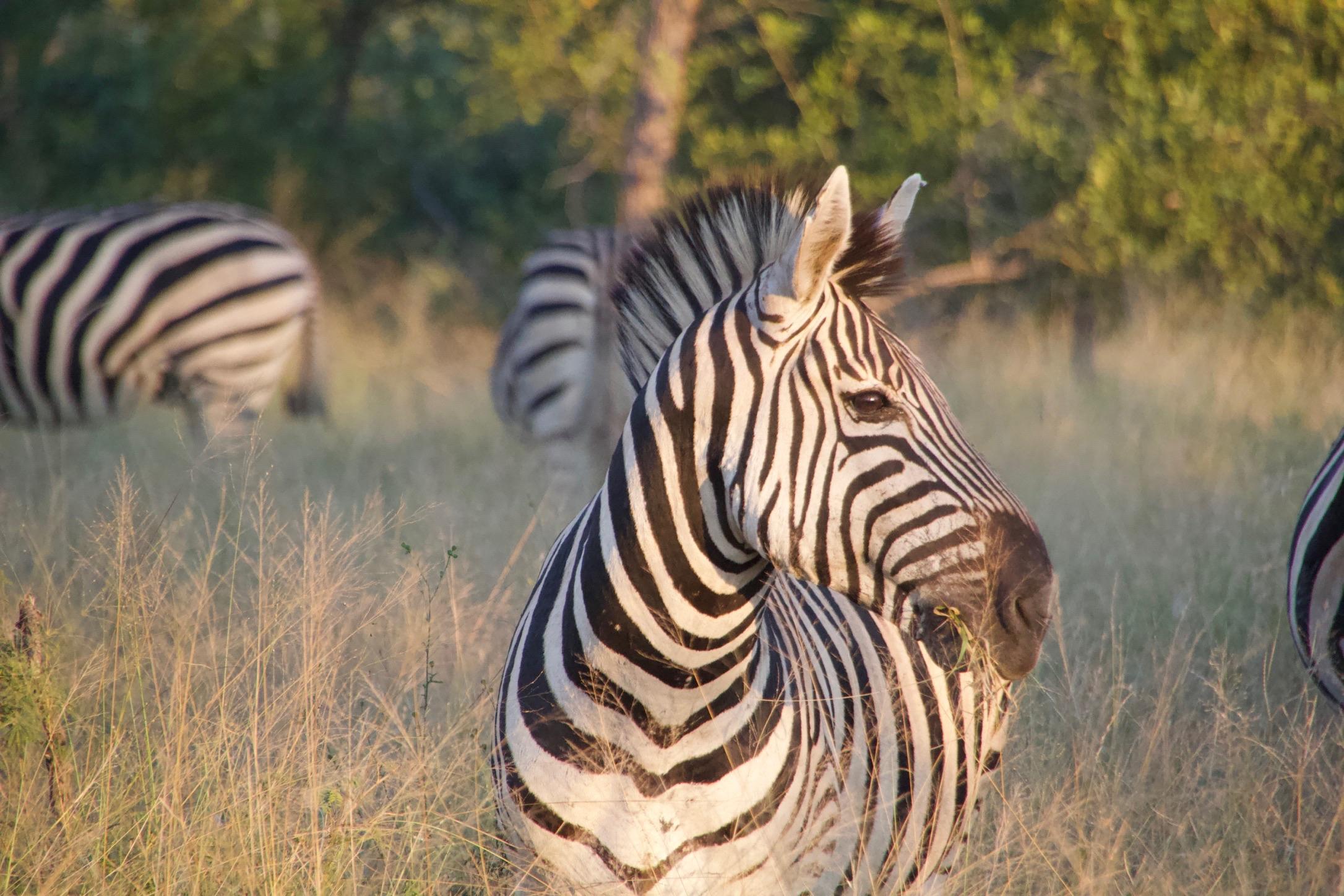 zebra at Sabi Sabi Earth Lodge