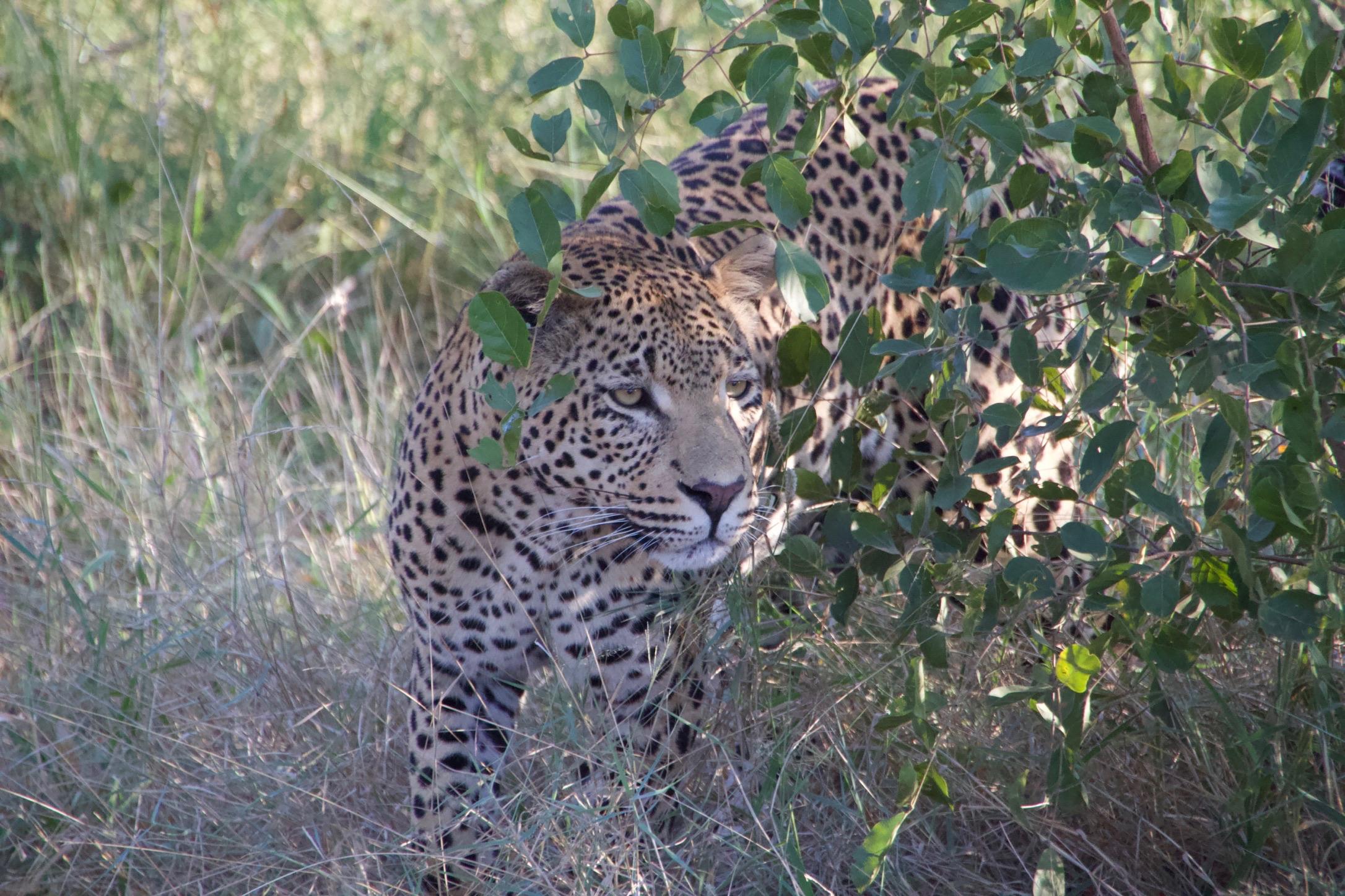 Leopard at Sabi Sabi Earth Lodge