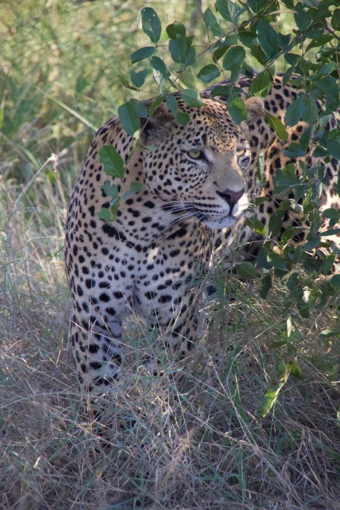 Leopard at Sabi Sabi Earth Lodge